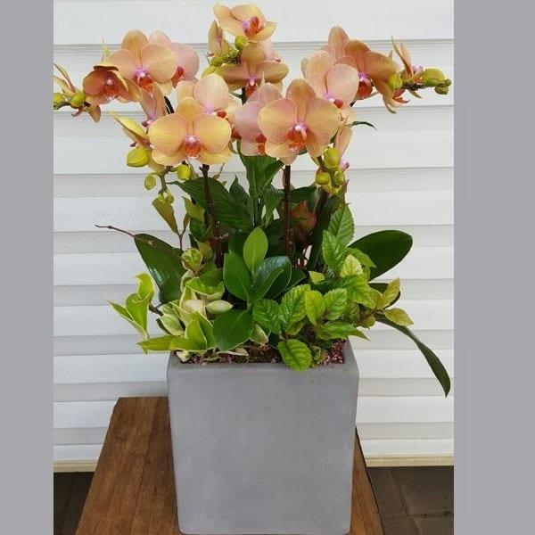 Flower Gift Korea Orchid 130 D